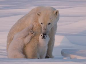 Polar Bear with Her Cubs in a Snowy Landscape at Twilight by Norbert Rosing