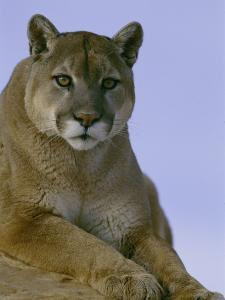 Portrait of a Mountain Lion by Norbert Rosing