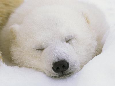 Portrait of a Sleeping Polar Bear Cub