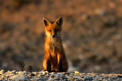 Portrait of a Young Red Fox (Vulpes Vulpes)