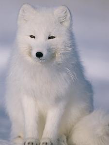 Portrait of an Arctic Fox in Winter Coat by Norbert Rosing