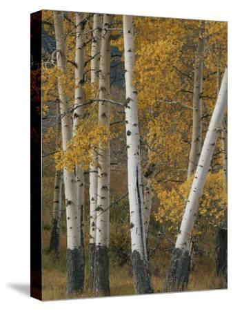 Quaking Aspen Trees in Autumn