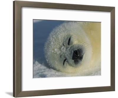 Resting Gray Seal Pup