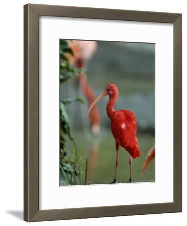 Scarlet Ibis Perches on a Rock