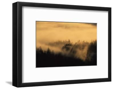 Spruce Trees Covered with Fog in Winter During Sunrise