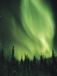 The Aurora Borealis Shimmers in the Sky Above Silhouetted Evergreeens by Norbert Rosing