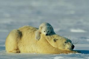 This Young Polar Bear (Ursus Maritimus) Cub Rests Comfortably Atop the Back of His Mother by Norbert Rosing