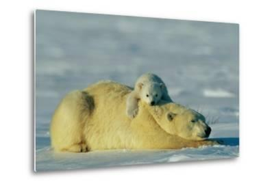 This Young Polar Bear (Ursus Maritimus) Cub Rests Comfortably Atop the Back of His Mother