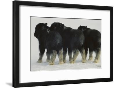 Three Musk-ox Calves, Separated From Their Mothers During Flight