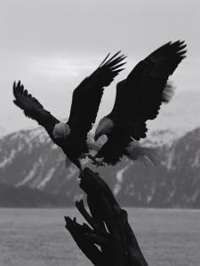Two Bald Eagles Fight Each Other for Food by Norbert Rosing