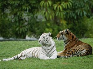 Two Bengal Tigers Lie Down in the Grass by Norbert Rosing
