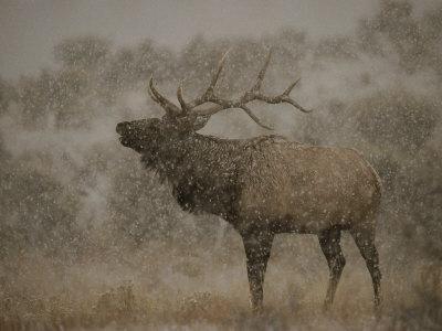 Wapiti, or Elk, Male Amidst Falling Snow