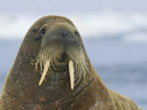 Whiskers and Tusks Adorn the Face of an Adult Atlantic Walrus by Norbert Rosing