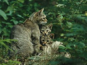 Wildcat with Young, Bayerischer Wald National Park, Germany by Norbert Rosing