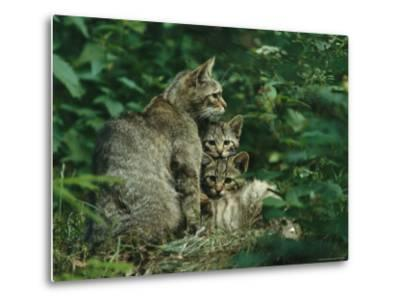 Wildcat with Young, Bayerischer Wald National Park, Germany
