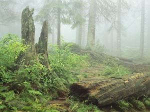 Woodland View in Fog with Ferns and Decaying Tree Trunk by Norbert Rosing