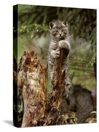 Young Wildcat Perches on a Tree Stump While Its Mother Watches