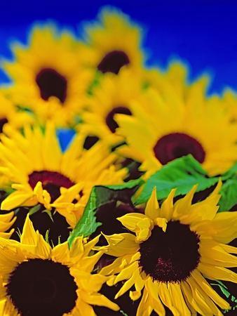Sunflower Relief, 1999
