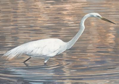 Wading Shore Bird