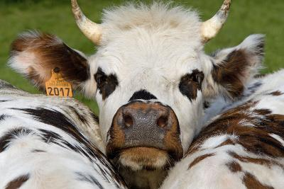Normandy Cow Face--Photographic Print