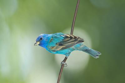 North America, USA, Florida, Immokalee, Indigo Bunting Perched on Wire-Bernard Friel-Photographic Print