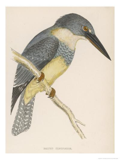 North American Belted Kingfisher-Reverend Francis O^ Morris-Giclee Print