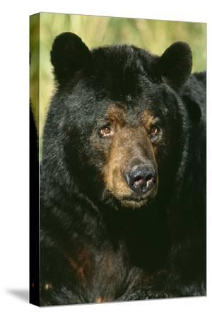 North American Black Bear Adult Male, Close-Up
