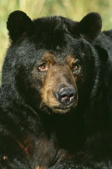 North American Black Bear Adult Male, Close-Up--Photographic Print