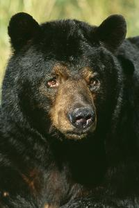 North American Black Bear Adult Male, Close-Up