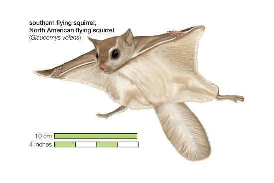 North American Flying Squirrel (Glaucomys Volans), Southern Flying Squirrel, Mammals-Encyclopaedia Britannica-Art Print