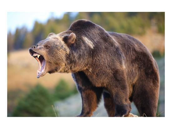 North American Grizzly Roaring--Art Print