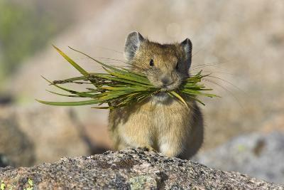 North American Pika (Ochotona Princeps) Carrying Grasses For Winter Storage, Mount Evans, Colorado- Shattil & Rozinski-Photographic Print
