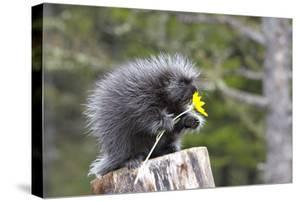 North American Porcupine Baby Holding Yellow Flower