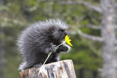 North American Porcupine Baby Holding Yellow Flower--Photographic Print