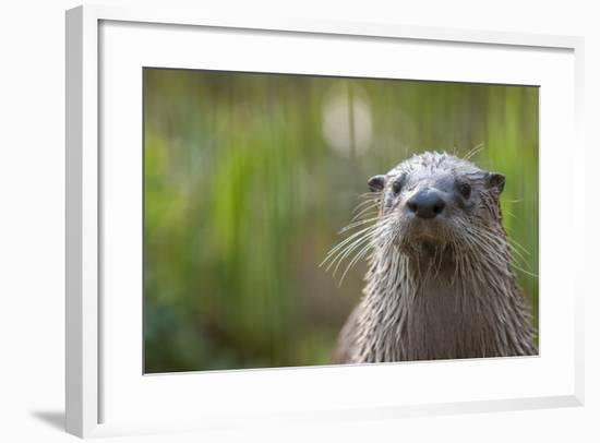 North American River Otter (Lutra Canadensis) Captive, Occurs in North America-Edwin Giesbers-Framed Photographic Print