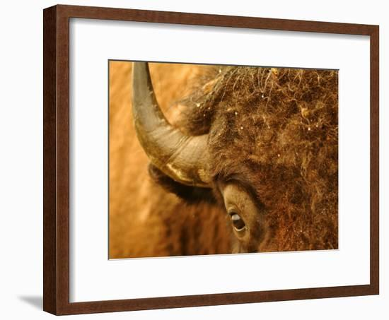 North Dakota, Fort Berthold Indian Reservation, an American Bison Gets Up Close and Personal-Jason Lindsey-Framed Photographic Print