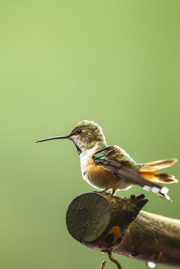 North Fork Flathead River. Calliope Hummingbird Perched-Michael Qualls-Photographic Print