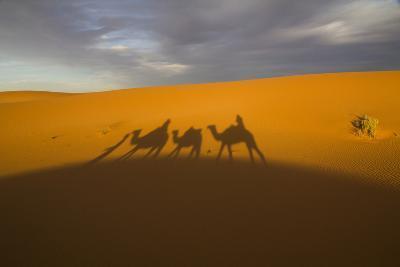 North Tafilalet, Erfoud, Merzouga, Erg Chebbi, Dromedary Camel Caravan-Emily Wilson-Photographic Print