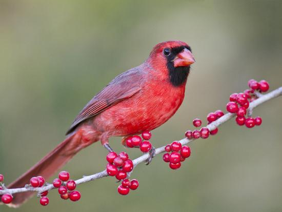 Northen Cardinal Perched on Branch, Texas, USA-Larry Ditto-Photographic Print