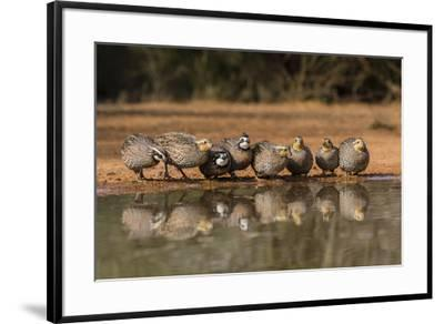 Northern Bobwhite, Colinus virgianus, covey drinking-Larry Ditto-Framed Premium Photographic Print