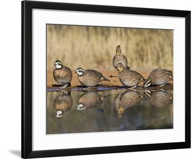 Northern Bobwhite, Texas, USA-Larry Ditto-Framed Photographic Print