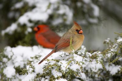 Northern Cardinal and on Keteleeri Juniper, Marion, Illinois, Usa-Richard ans Susan Day-Photographic Print