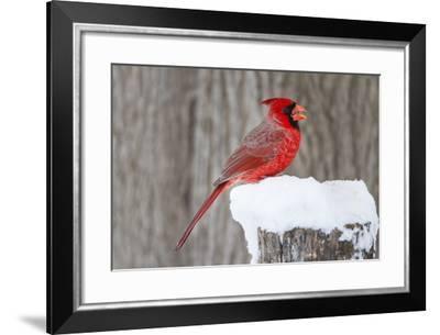 Northern Cardinal (Cardinalis Cardinalis) Adult Feeding in Snow-Larry Ditto-Framed Photographic Print
