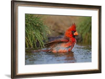 Northern Cardinal (Cardinalis Cardinalis) Adult Male Bathing-Larry Ditto-Framed Photographic Print