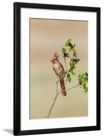 Northern Cardinal (Cardinalis Cardinalis) Female Perched-Larry Ditto-Framed Photographic Print