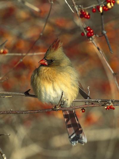 Northern Cardinal (Cardinalis Cardinalis) Female Perching in Bittersweet, Long Island, New York-Tom Vezo/Minden Pictures-Photographic Print