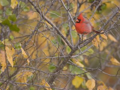 Northern Cardinal (Cardinalis Cardinalis) Male-Jack Michanowski-Photographic Print