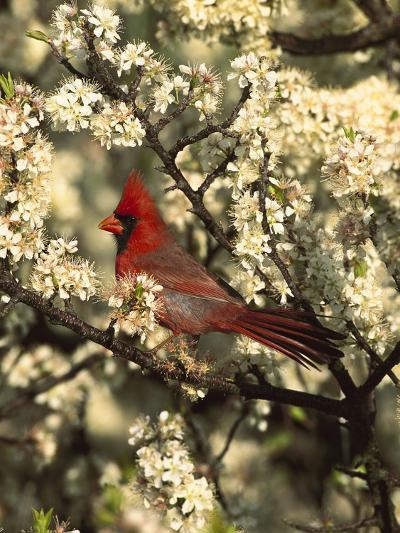 Northern Cardinal (CardinalisCardinalis) in Beach Plum (PrunusMaritima) Tree, Long Island, New York-Tom Vezo/Minden Pictures-Photographic Print