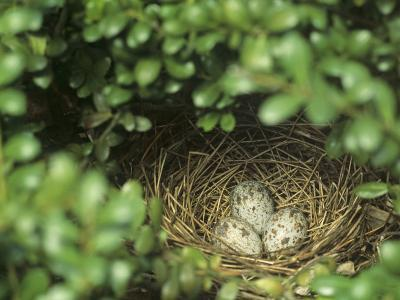Northern Cardinal Eggs in the Nest (Cardinalis Cardinalis), Eastern North America-Steve Maslowski-Photographic Print