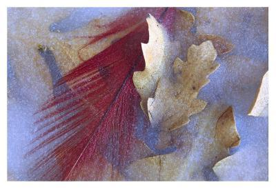 Northern Cardinal feather and Oak leaves frozen in ice, Arizona-Tim Fitzharris-Art Print